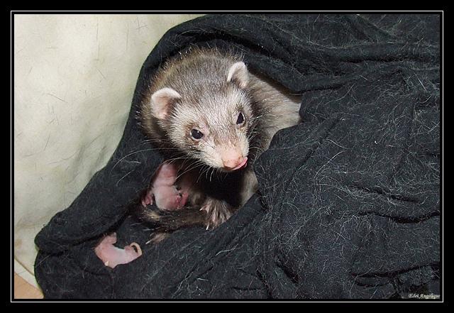 les bébé de loonie sont nés! DSCF7891